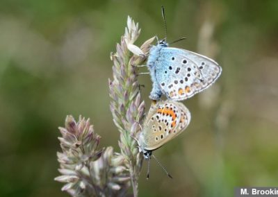 S S Blue pair mating - courtesy M Brooking